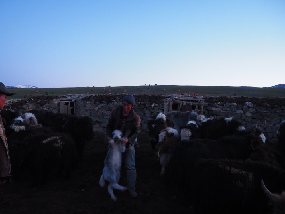 Corralling Siku's livestock in for the night