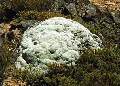 Raoulia eximia , one species of vegetable sheep. Image courtesy Landcare Research, New Zealand