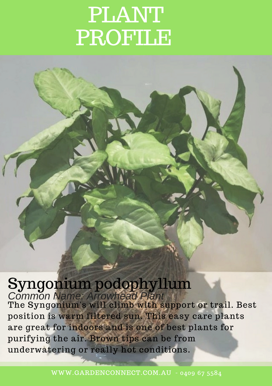 Plant Profile - Syngonium .png