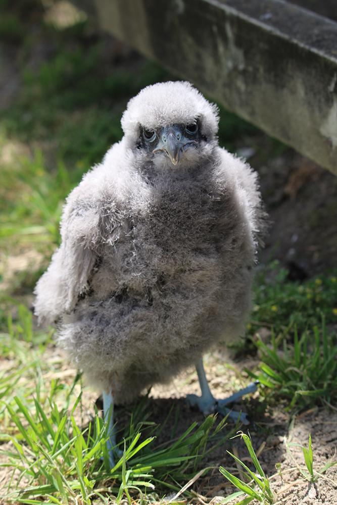 Tussock-chick.jpg