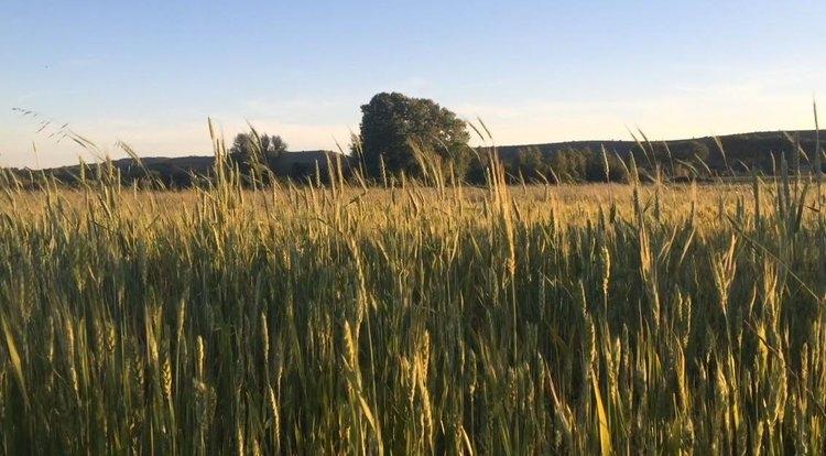 wheat field.jpeg