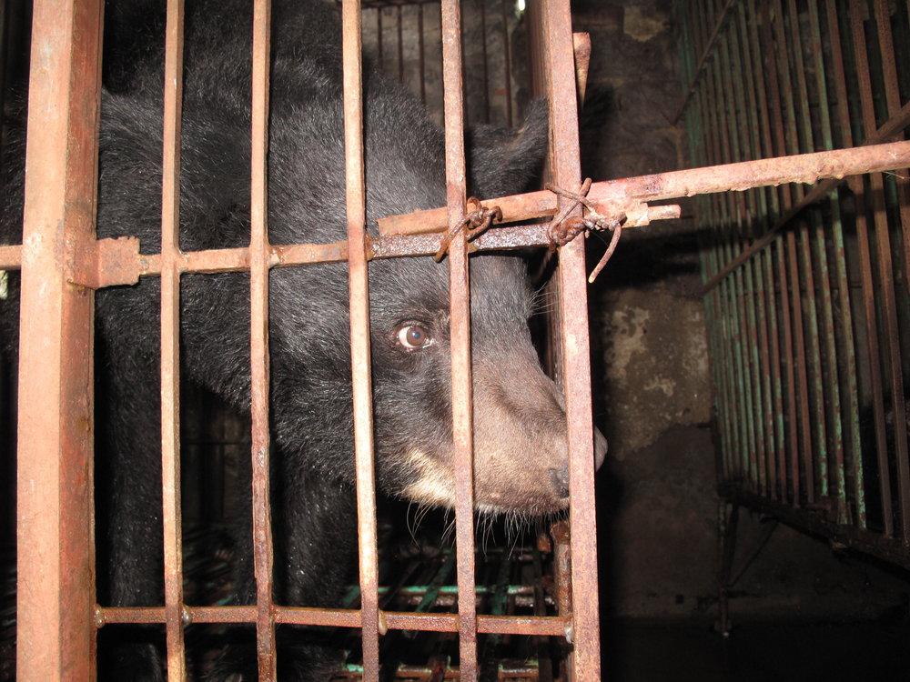 Cinta in einem winzigen Käfig auf der Farm (Ha Long Bay).jpeg