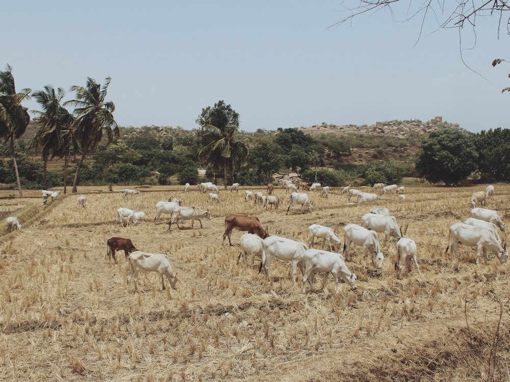Cows grazing in a field in Hampi.