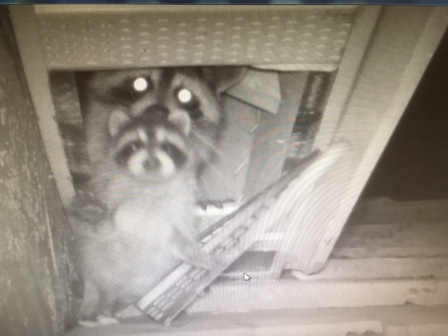 Mama raccoon removing baby from attic