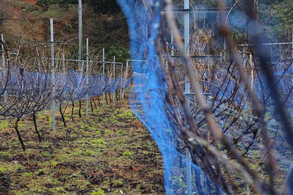 Oshima's vinyard