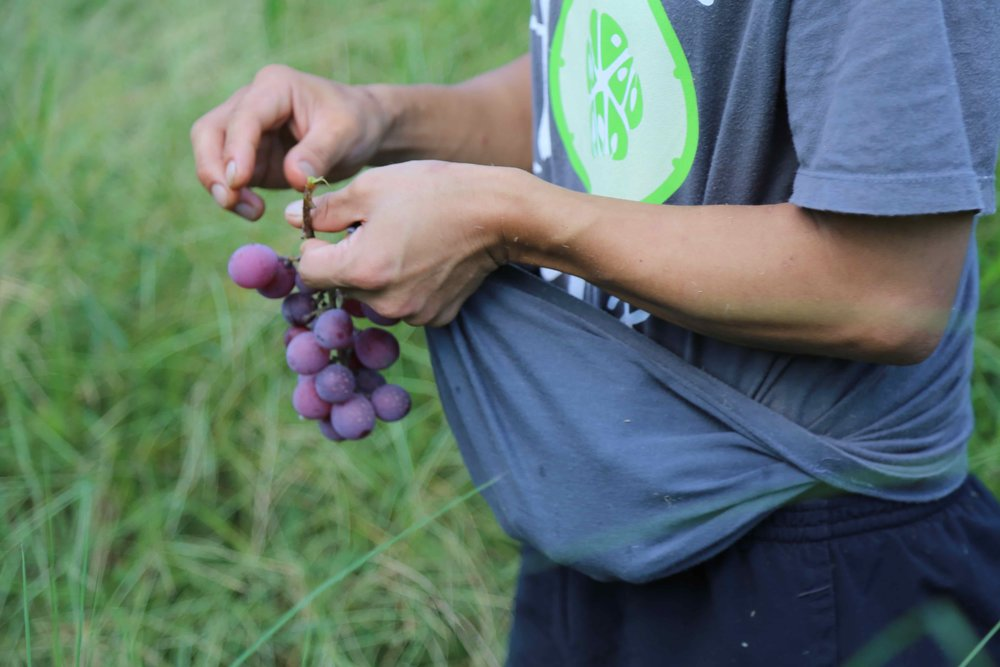 table grapes picking