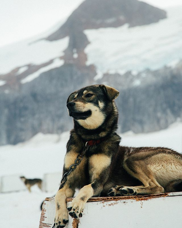 I've never seen a happier crew of dogs than these Alaskan Husky racers. All will be participating in the Iditarod this year!