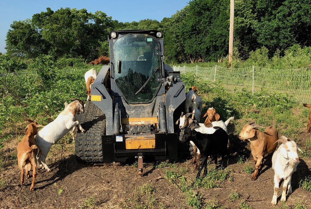 Skid Steer With Goats