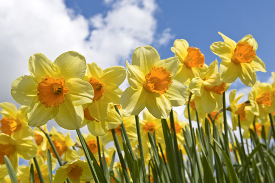 Narcisos -