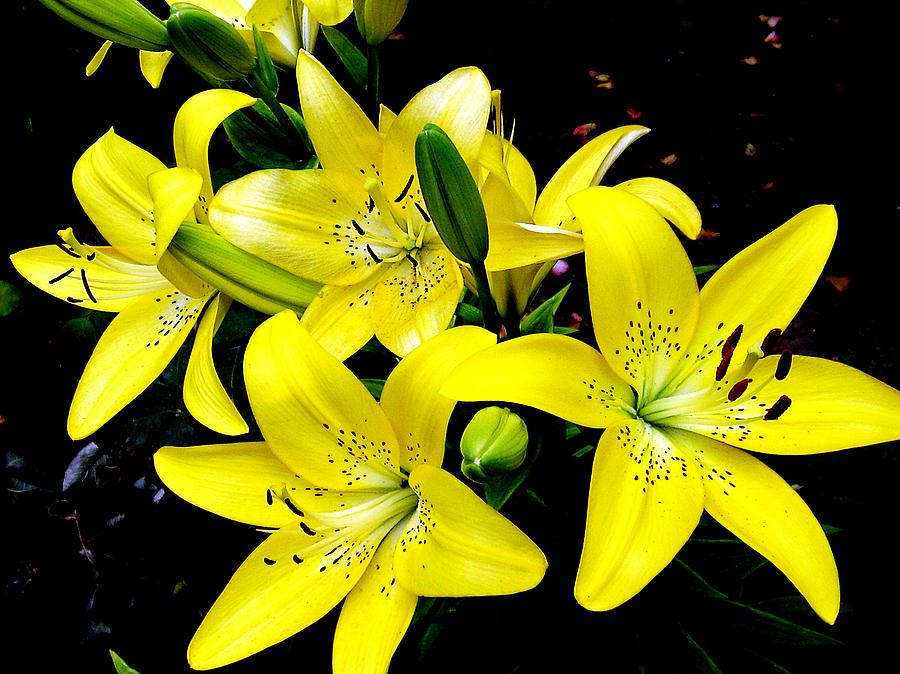 Lilys -