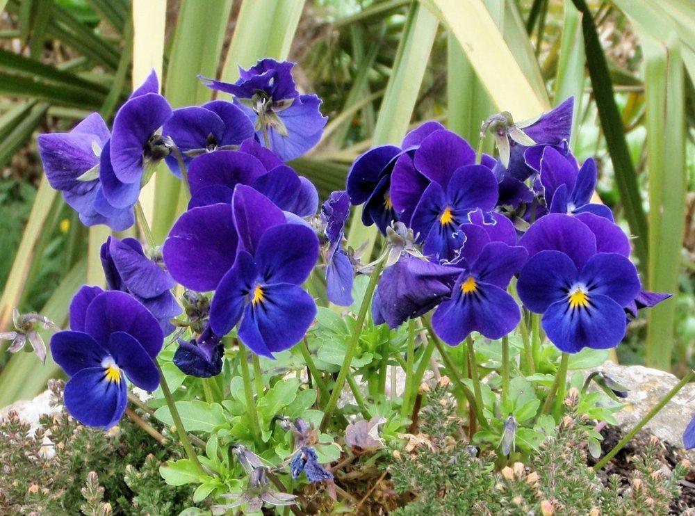 Violetas -
