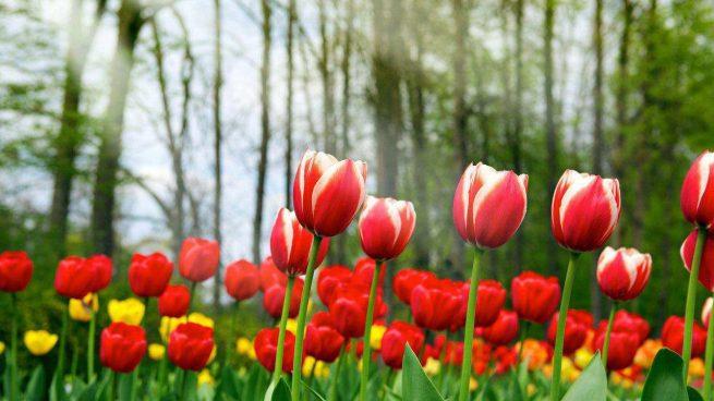 Tulipanes -