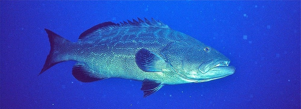 By Bernard DUPONT from FRANCE (Black Grouper (Mycteroperca bonaci)) [CC BY-SA 2.0 (https://creativecommons.org/licenses/by-sa/2.0)], via Wikimedia Commons