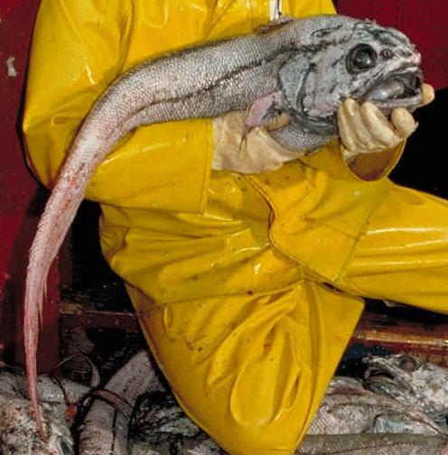 NOAA's [http://www.afsc.noaa.gov/race/media/photo_gallery/fish_files/Giant_grenadier.htm Alaska Fisheries Science Center]