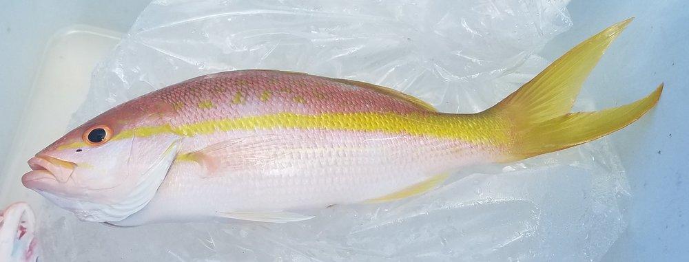 Yellowtail snapper.jpg
