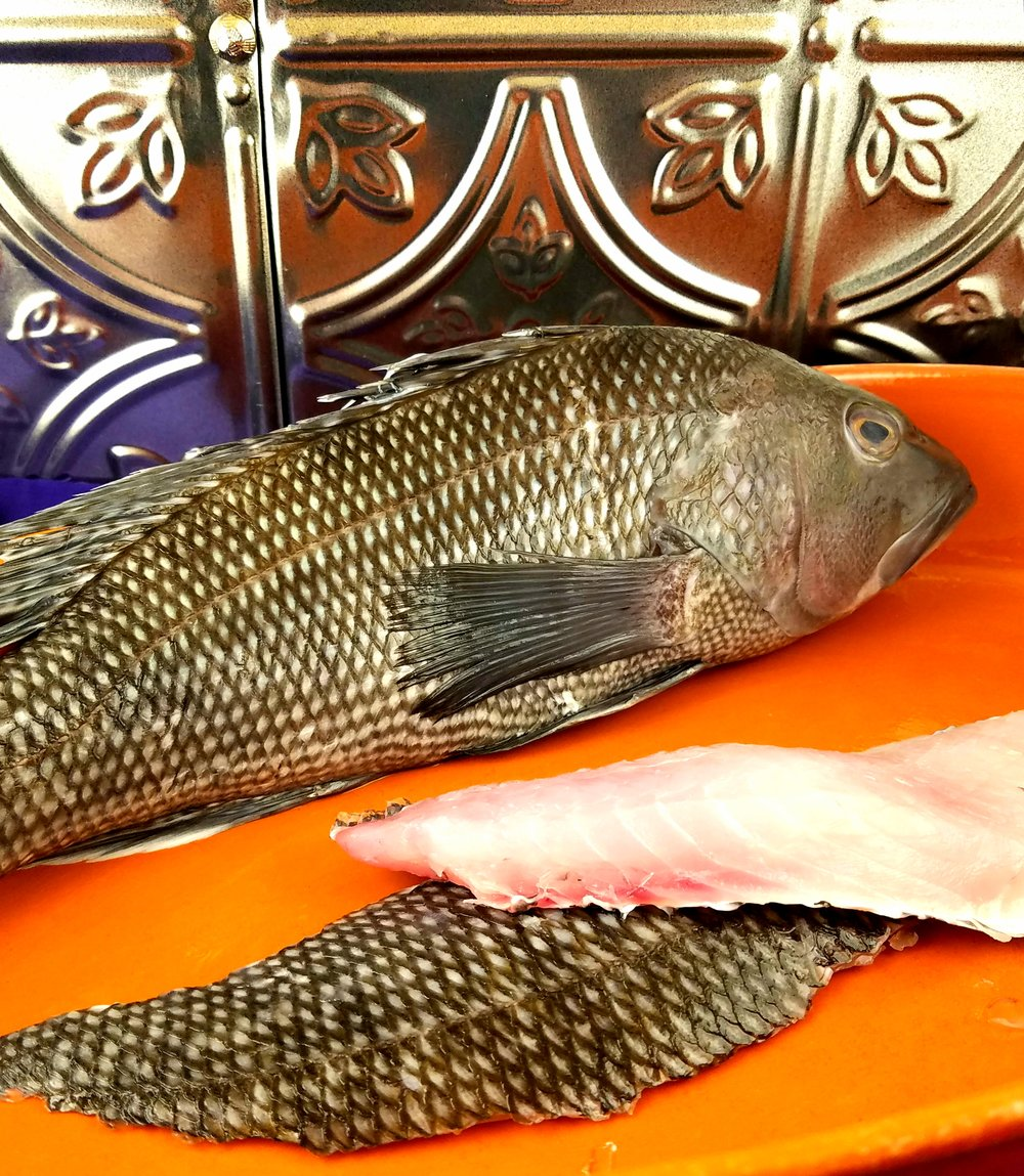 Black Sea Bass are similar to striped bass, rockfish, and ocean perch.