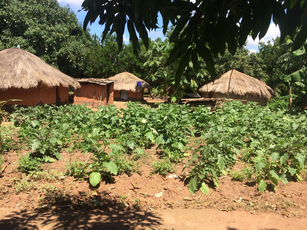 A small subsistence eggplant crop at a farmer's home in Lira District - Northern Uganda