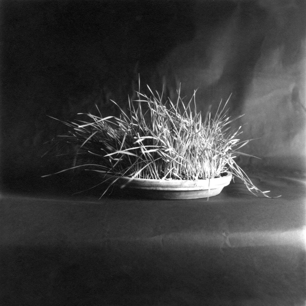 Plant Life. Wheat Grass.27