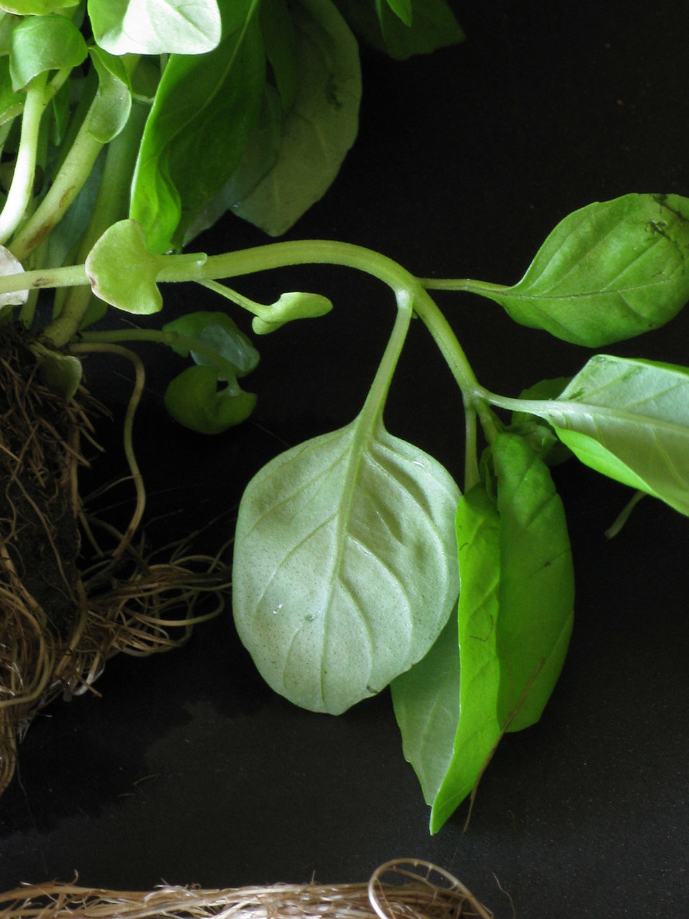 Plant Life.Basil.74