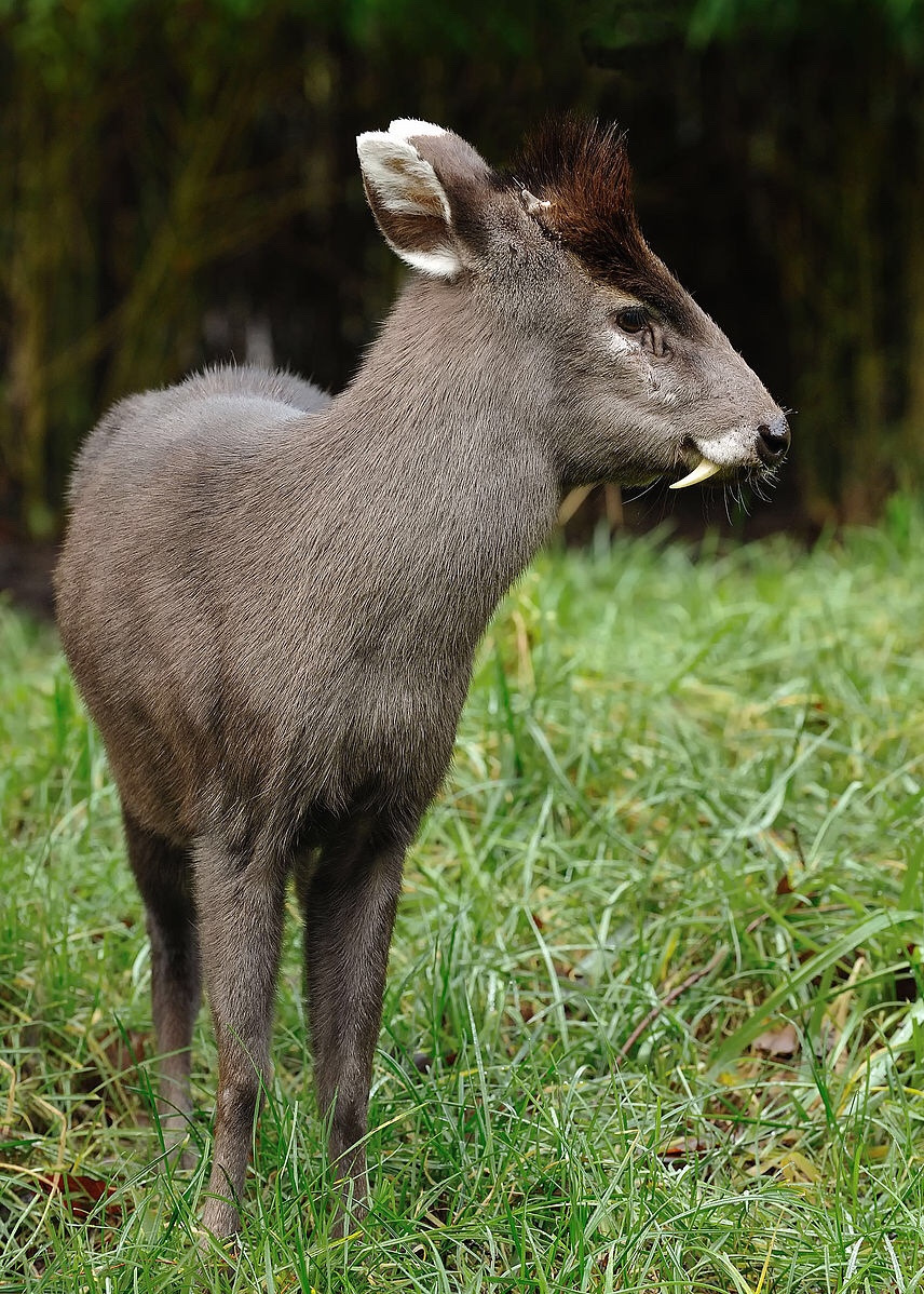 Tufted deer.