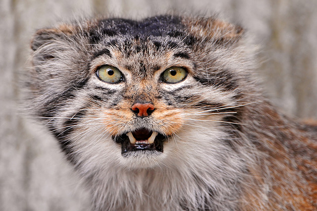 Manul, the cat the time forgot, is also known as Pallas's cat.