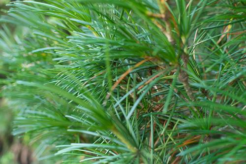 umbrella-pine.jpg