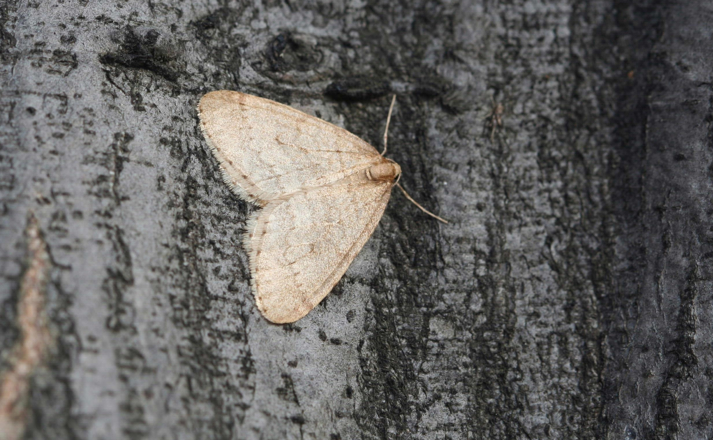 Winter moth adults emerge to mate in late fall through early winter.