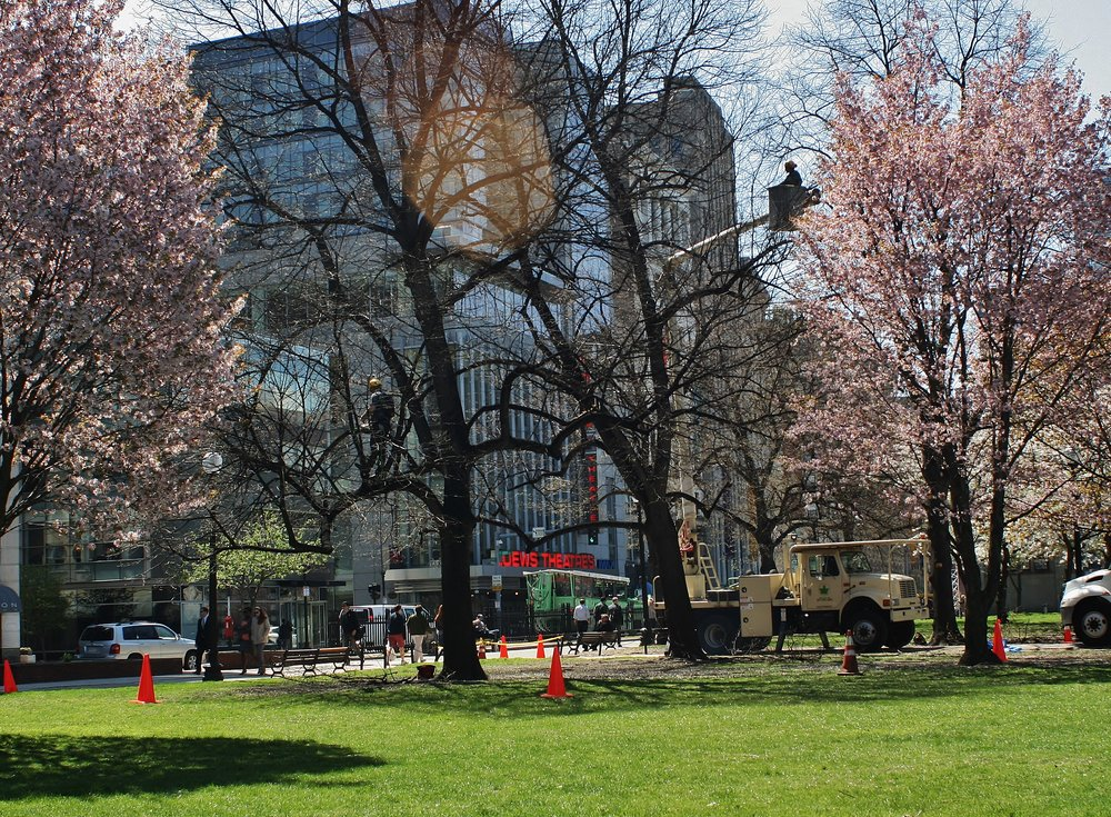 BTSE arborists providing needed tree care services at Boston Common.