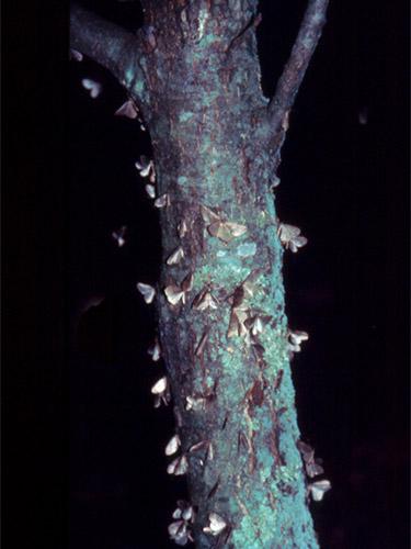 Male winter moths landing on a tree trunk. (Photo: D. Swanson/UMass Extension)