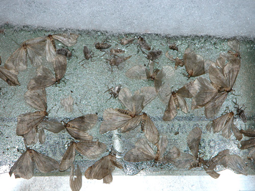 A close up view of both winged male and wingless female adult winter moth. (Photo: R. Childs/Umass Extension)