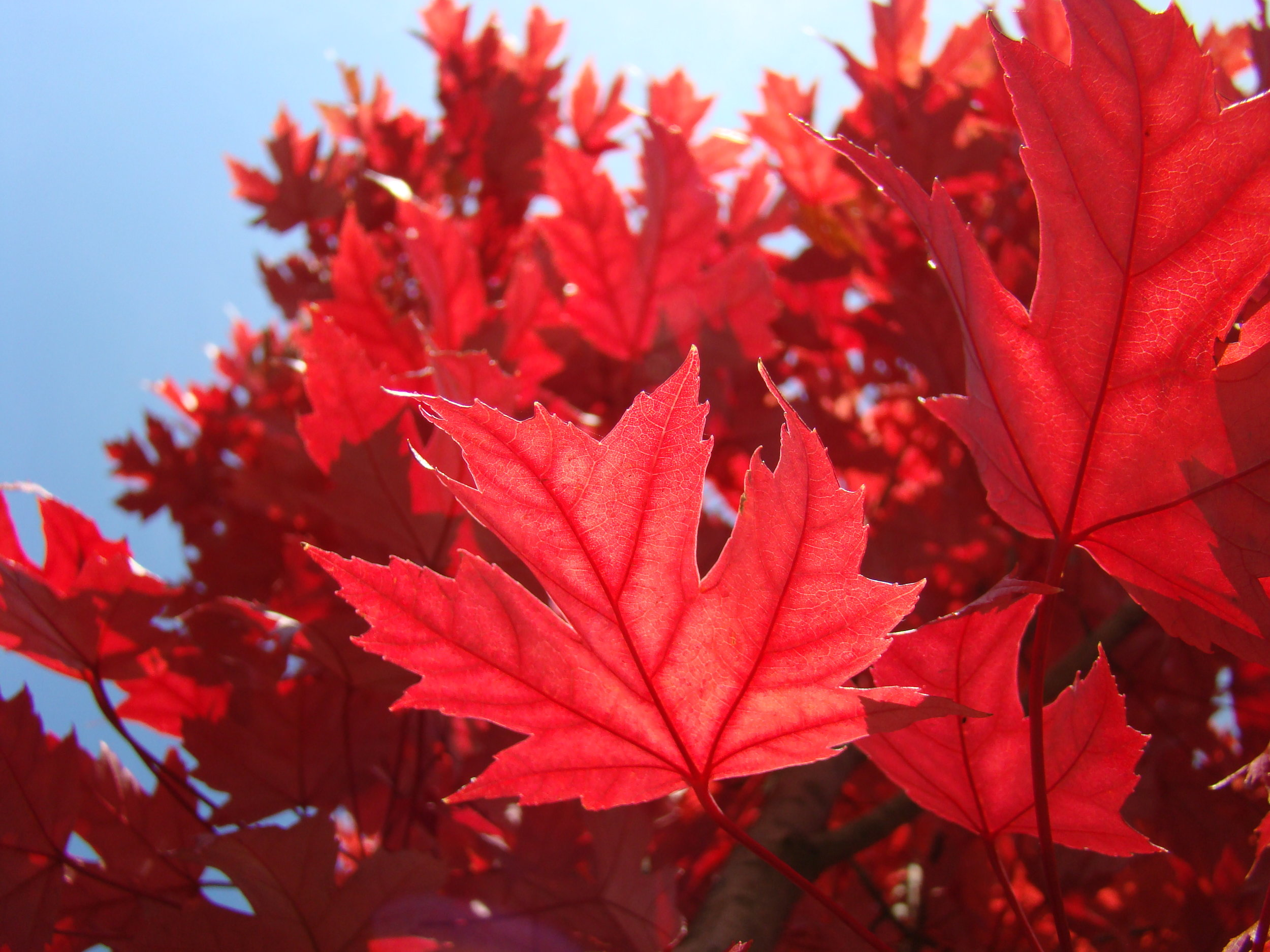Red and orange colors, produced by pigments called anthocyanins, may protect foliage by blocking excess sunlight.