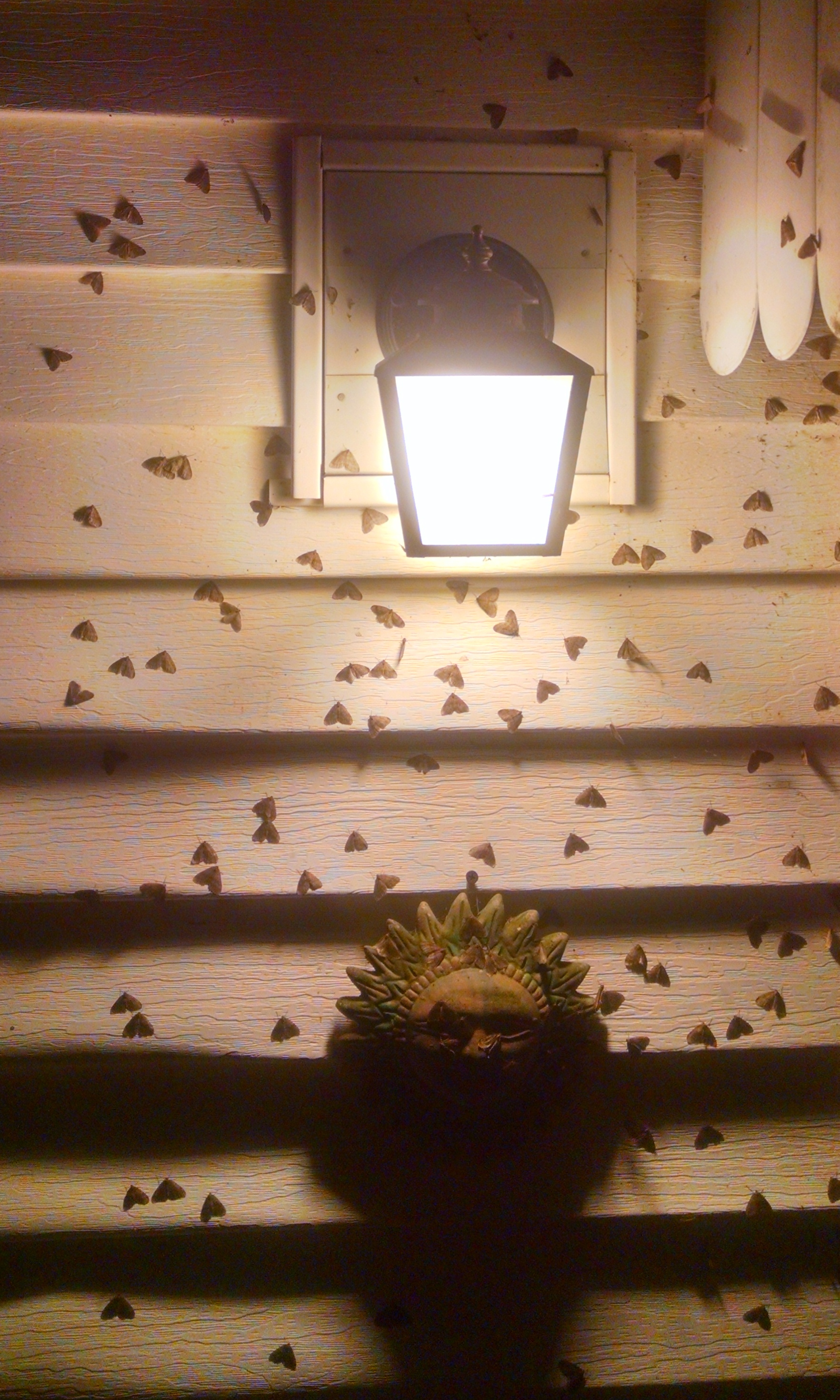 Adult male moths are strongly attracted to light and often seen flying around lamps.  (image: K.E. Bernard)