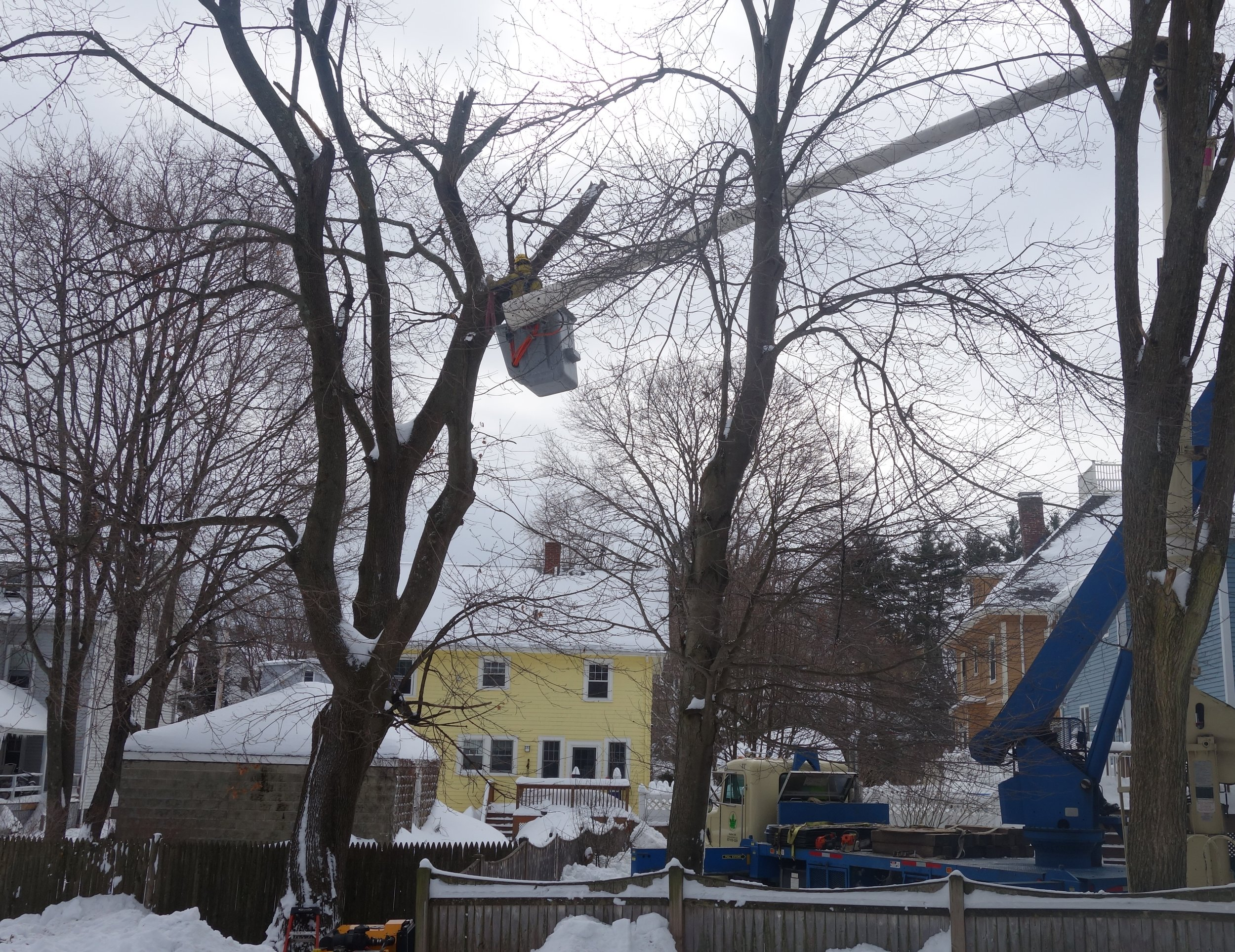 Taking advantage of wintertime temperatures provides firm ground often increasing access for equipment allowing large tree work to proceed efficiently.