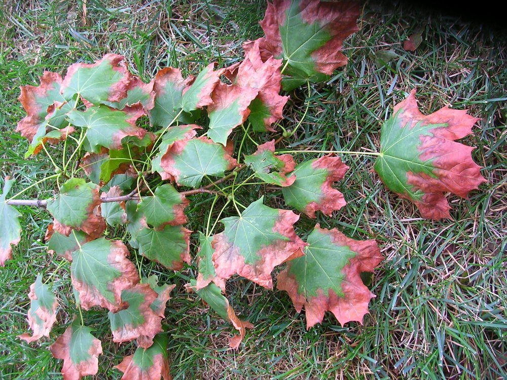 Visual signs of drought injury include: wilting, yellow, curling, marginally scorch leaves or drop early leaf fall.
