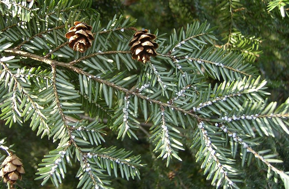 """HWA are most recognized by the white """"woolly"""" masses of wax produced by the insects at the base of hemlock needles."""