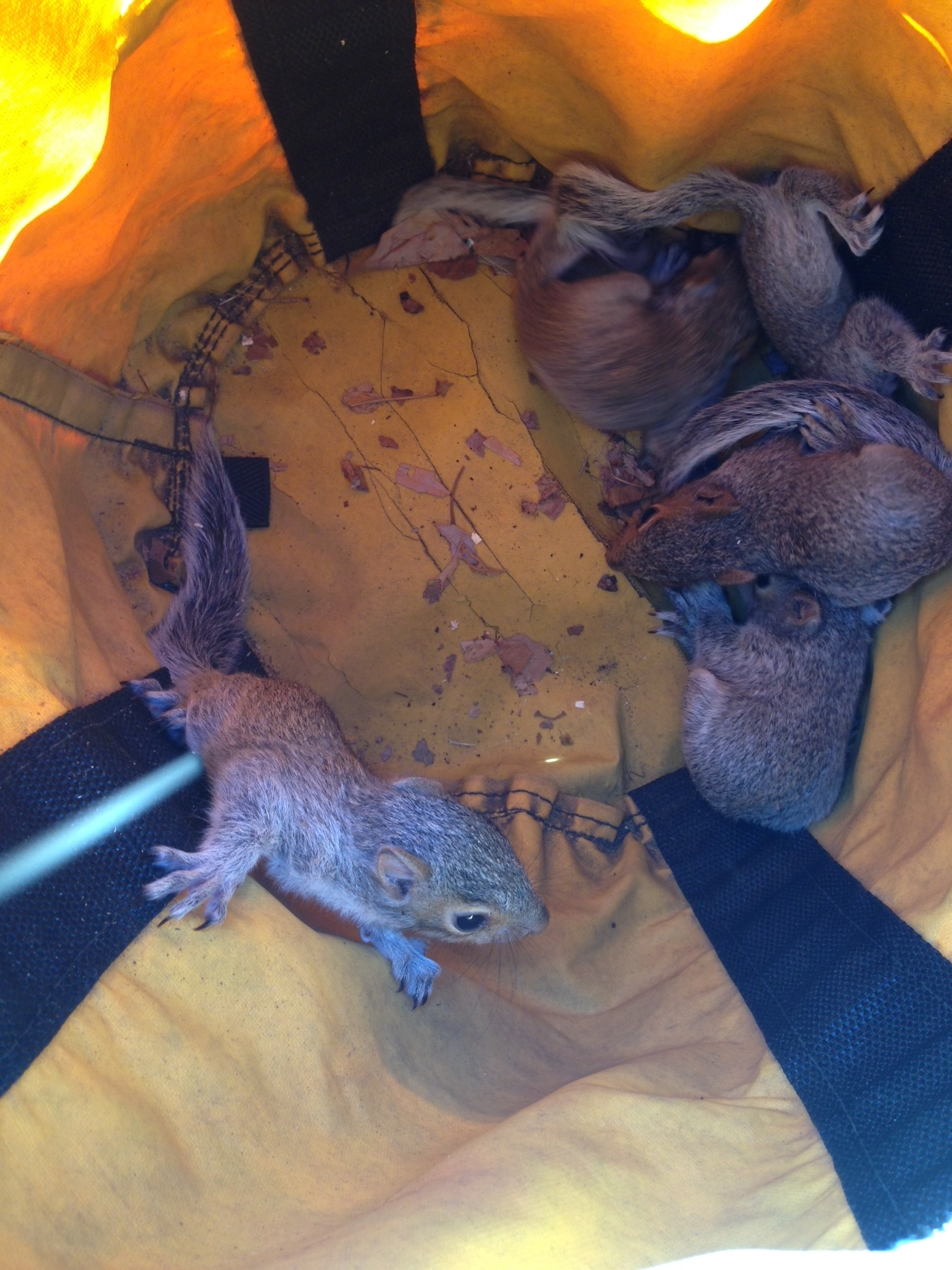 The crew quickly developed a plan to evacuate the baby squirrels, placing them into a large canvas rope bag, then lowering them from the tree into a temporary nest nearby.