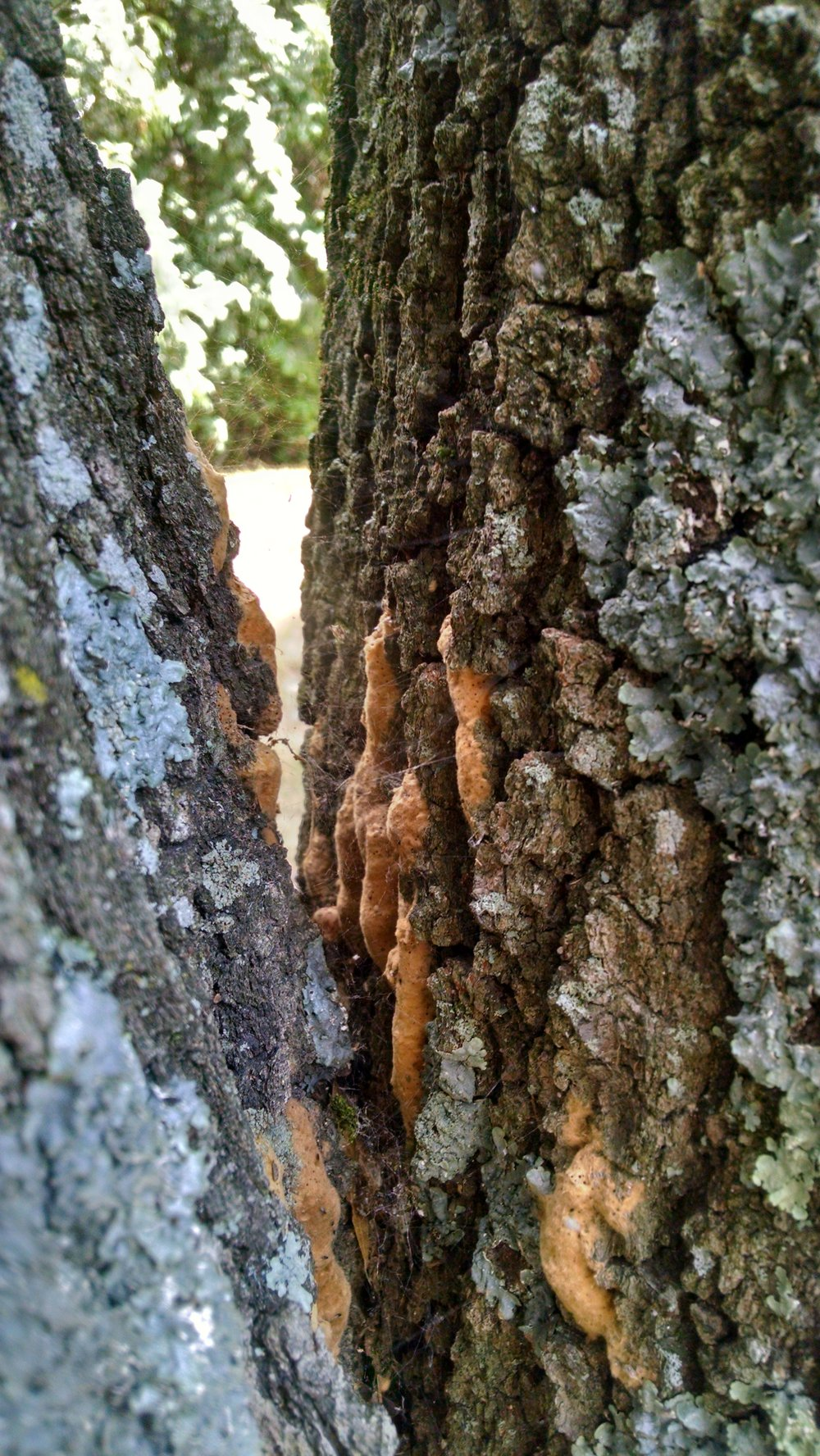 Gypsy moth overwinters in tan-colored, irregular shaped egg masses laid on the trunks of trees and contain 50 to 1500 individual eggs (K. Bernard).