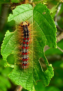 Gypsy moth larvae have red and blue spots and consume deciduous foliage until early July (bugwood.org).
