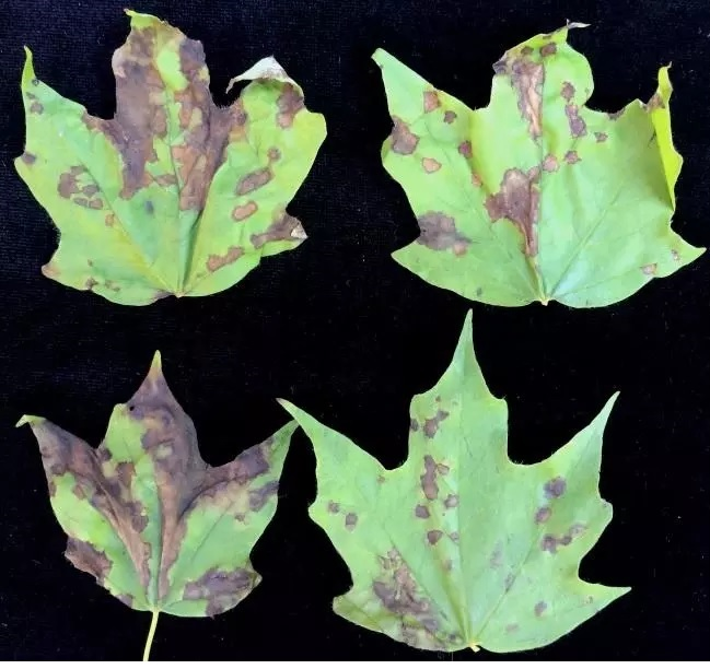 This is what anthracnose looks like, according to a UMass expert. (image: bostonglobe.com)