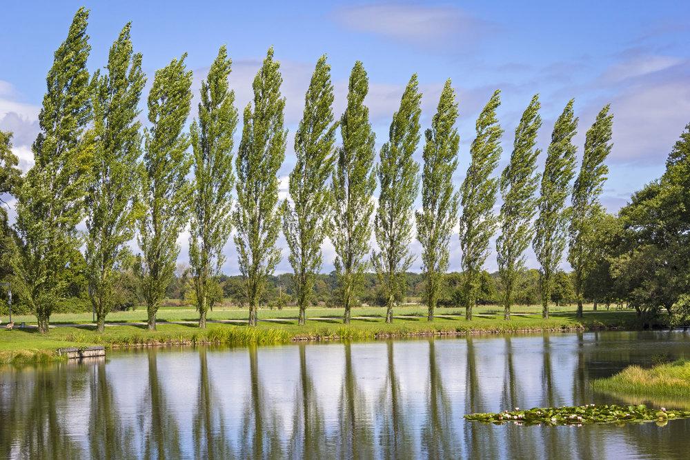 Poplar-Trees-LR.jpg