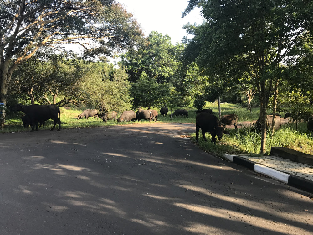 The friendly herd of water buffalo I regularly pass on my way from the Center to the Faculty of Applied Sciences at RUSL.