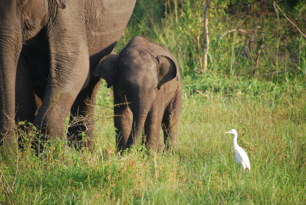 Baby photo #3: Elephant calf sticks close to mom as he nervously eyes a nearby cattle egret, Wasgamuwa National Park, 19 December 2018. Photo: Chase LaDue.