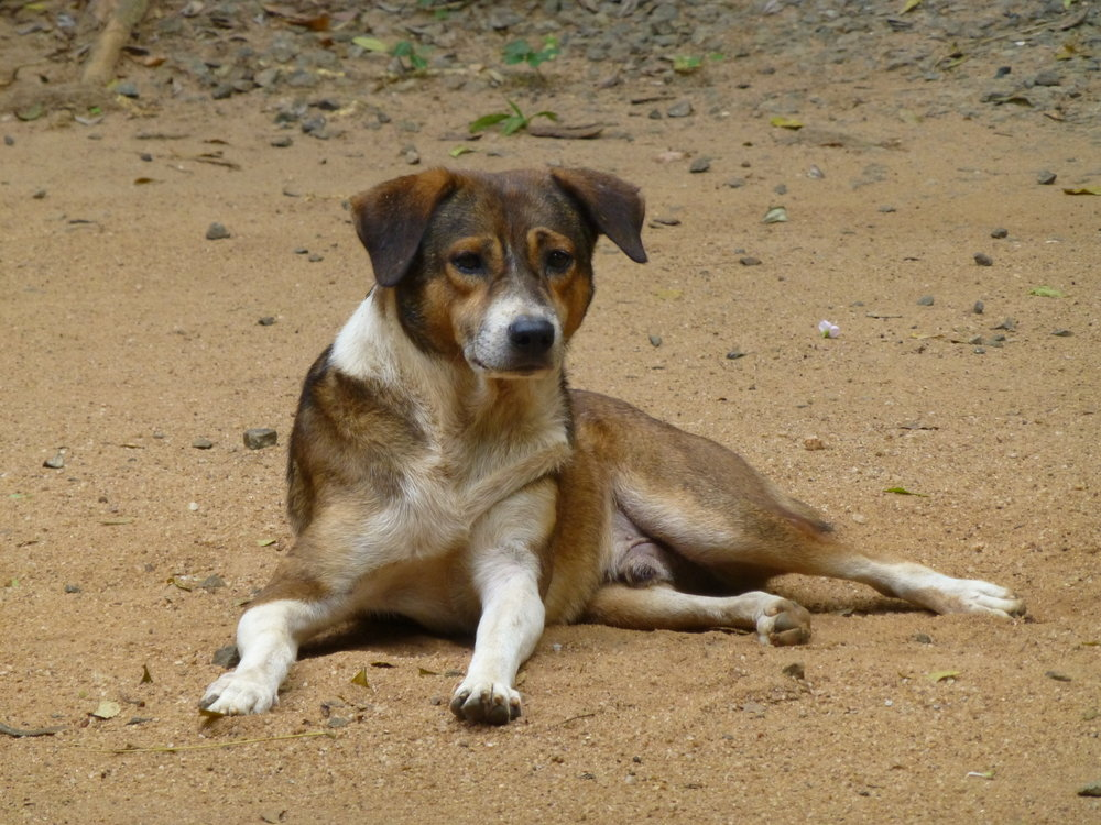 Jimi, the resident dog at the bungalow in Wasgamuwa. Photo: Elizabeth Freeman.