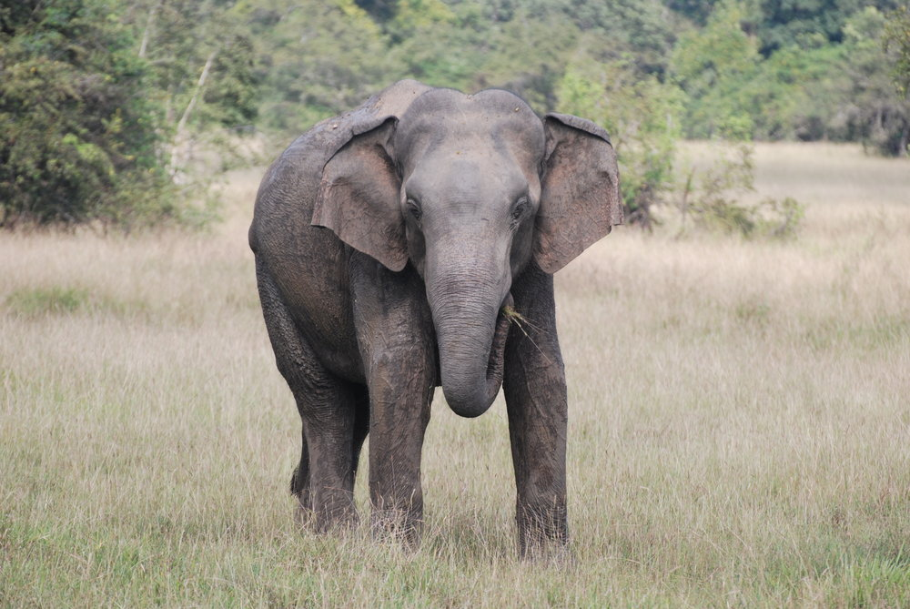 Encounters with elephants out in the open are increasingly rare with the high temperatures. Male 012, 12 March 2019, Wasgamuwa National Park.