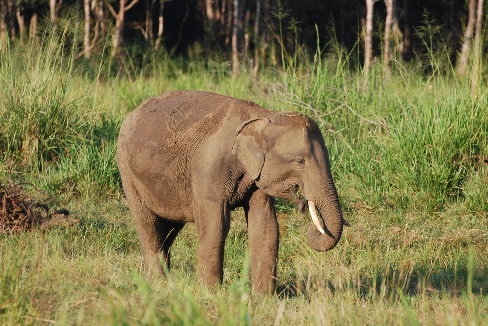 The other tusker we saw that day. Much younger, but with impressive tusks still. 26 March 2019, Wasgamuwa National Park.