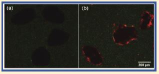 """Natural products like the seed from the Moringa oleifera tree can be used in powerful ways. Here Moringa-coated sand is used to kill bacteria (red), compared with live bacteria (green) on uncoated sand.   Permission from Jerri et al, """"Antimicrobial Sand via Adsorption of Cationic Moringa oleifera Protein,""""Langmuir, 28, 2262–2268 (2012)."""