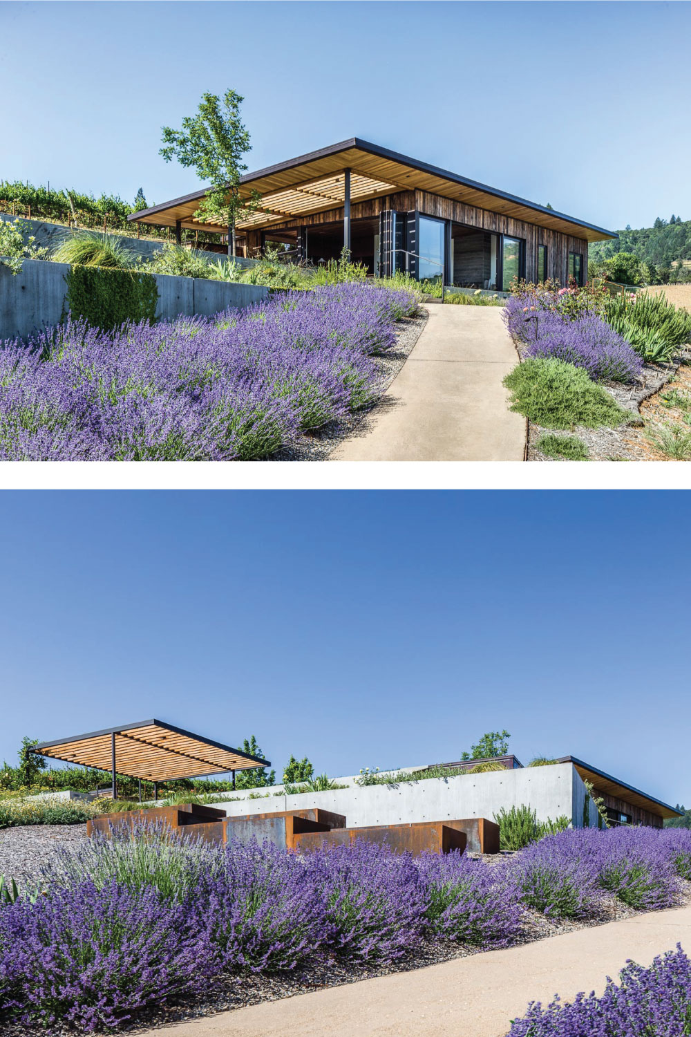 Fragrant lavender lines the path up to the house from the vineyard.
