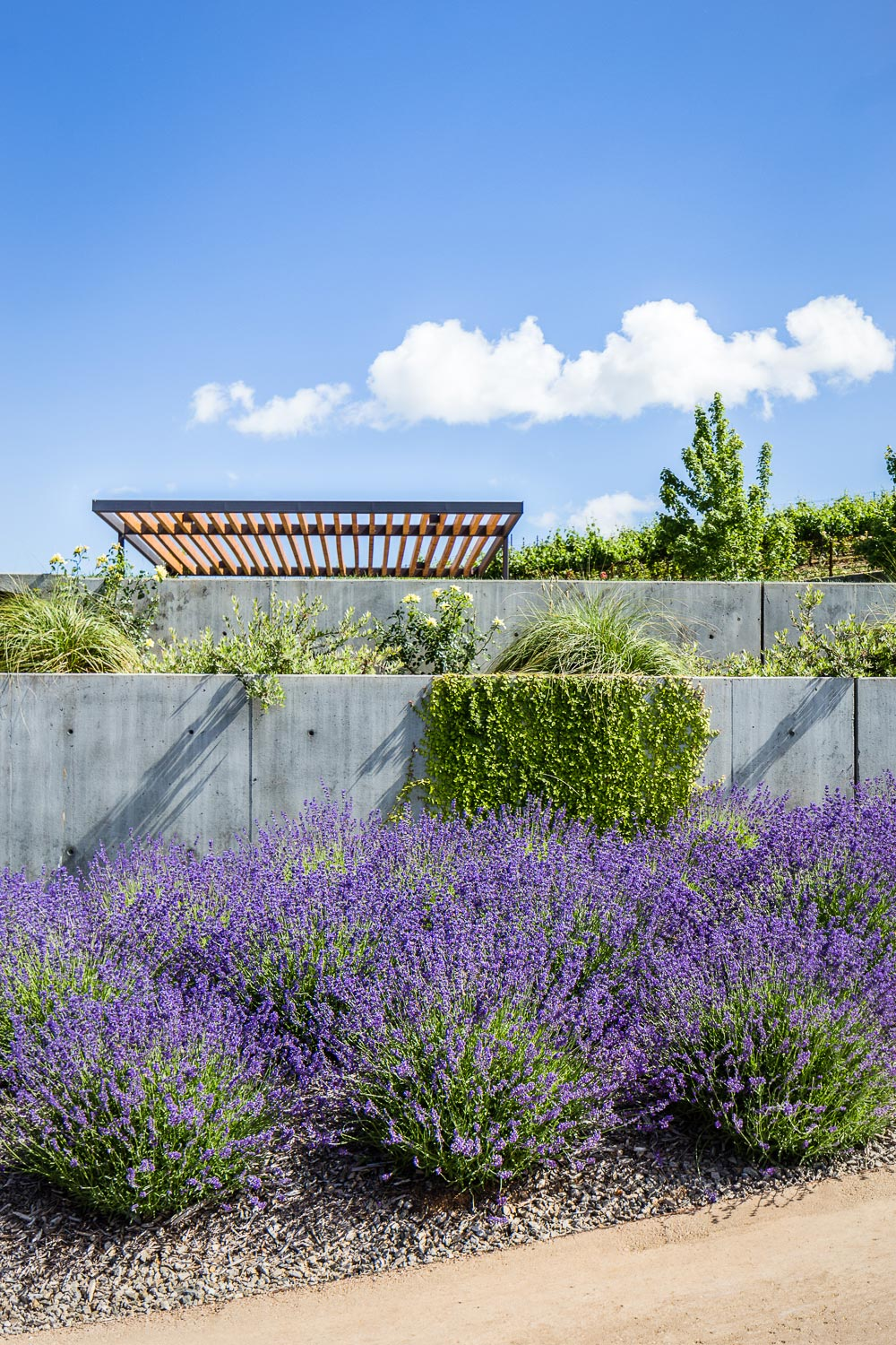 Concrete, lavender and native grasses create a contrast of color and texture within the restrained materials palette.