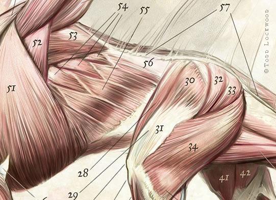 musculature_det02.jpg