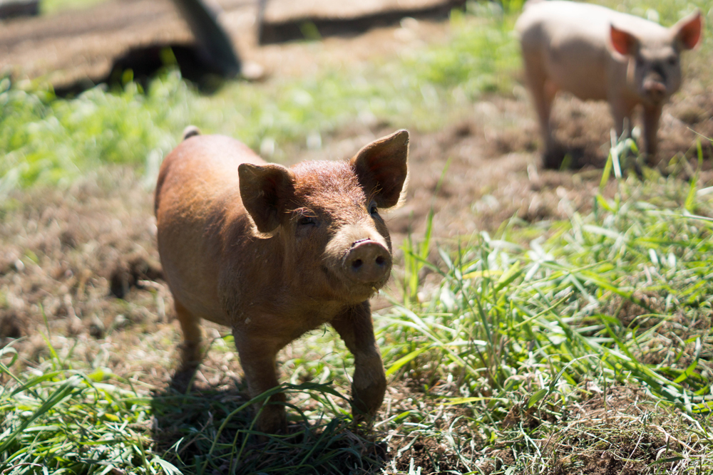 happy piglet.jpg